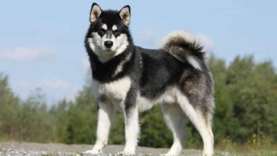 Các bệnh chó Alaska thường hay gặp phải